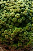 Background image of green coral polyps