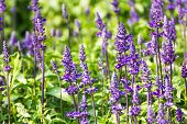 image of salvia  - Meadow with blooming Blue Salvia herbal flowers - JPG