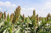 pic of sorghum  - Sorghum or Millet field with blue sky background - JPG