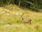 picture of cervus elaphus  - Majestic European Red deer  - JPG
