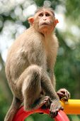 Indian Rhesus Macaque Monkey (macaca Mulatta) In A Park
