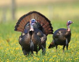 stock photo of turkey-hen  - Wild turkey in a meadow in Great Smoky Mountain National Park  - JPG
