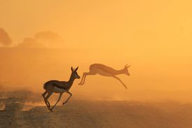 stock photo of antelope horn  - Springbok antelope escape into the golden dust of sunset - JPG