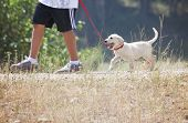 pic of labradors  - a young boy taking a small labrador retriever puppy for a walk on a red leash - JPG
