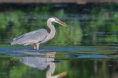 foto of bluegill  - Great Blue Heron fishing in the low lake waters - JPG