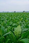 Green Tobacco Field In Thailand