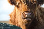 stock photo of highland-cattle  - Close up of a Highland Cow with tongue sticking out - JPG