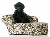 picture of standard poodle  - standard poodle puppy sitting on a dog couch isolated on white background - JPG