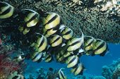 picture of butterfly fish  - Butterfly Fish - JPG