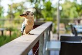 picture of kookaburra  - A beautiful Australian kookaburra bird is relaxing on a balcony fence quietly.