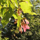 stock photo of tatar  - Foliage and fruit of Acer tataricum  - JPG