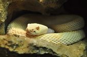 picture of albinos  - Albino adult Crotalus scutulatus Northern Mohave Rattlesnake white snake - JPG