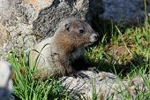 image of marmot  - A Juvenile Hoary Marmot at Mount Rainier National Park - JPG