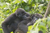 image of gorilla  - Mountain Gorilla Grooming another Gorilla in Bwindi Impenetrable Forest - JPG