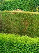 stock photo of uncut  - a hedge of arborvitae as a privacy screen in a garden - JPG