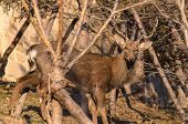 stock photo of deer rack  - Whitetail Deer Buck standing in the woods. ** Note: Soft Focus at 100%, best at smaller sizes - JPG