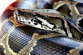 stock photo of burmese pythons  - close up head shot of a burmese python in a petting zoo - JPG