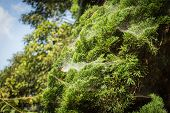 foto of cobweb  - A lot of cobwebs in the trees - JPG