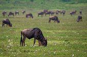 stock photo of wildebeest  - Herd of wildebeests is grazing in Ngorongoro crater Tanzania - JPG