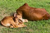 stock photo of calf cow  - the calf and cow are sleeping on the lawn yard - JPG