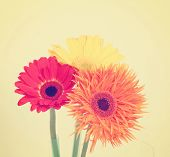 stock photo of gerbera daisy  - gerbera daisies on a beige background toned with a retro vintage instagram filter effect  - JPG