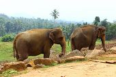 pic of indian elephant  - Indian elephants in elephant nursery - JPG