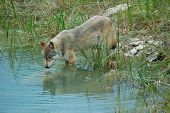 stock photo of north american gray wolf  - Rocky Mountain Grey Wolf (canis lupus) admiring its reflection in the water