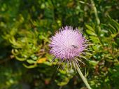 foto of welts  - The opening bud of a plume thistle  - JPG