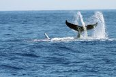 foto of whale-tail  - swirling whale tail with water spray - JPG