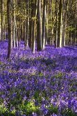 stock photo of harebell  - Beautiful landscape of Spring bluebells in forest - JPG