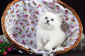 picture of masquerade  - four Neva masquerade  kittens in basket on brown - JPG