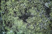 picture of algae  - A texture formed by green algae on a rock - JPG