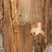stock photo of larva  - Beetle and larva found on tree trunk under the bark with resulting insect damage - JPG