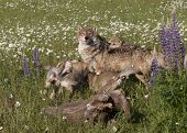 picture of wildflowers  - Grey wolf pups playing around their mother in a field of wildflowers - JPG