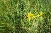 pic of pollen  - Insect collecting pollen on a yellow flower Prespa Greece - JPG