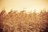 stock photo of corn stalk  - Dry corn field at the sunset - JPG