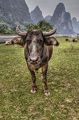 image of bestiality  - Cows grazes on pasture at Li River amid the karst hills in the countryside of southern China near the city of Guilin and Yangshuo Guangxi Province - JPG