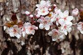 picture of white bark  - white cherry flowers in spring on tree bark background - JPG