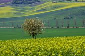 foto of southern  - Rapeseed field  and tree suitable for backgrounds or wallpapers, natural seasonal landscape. Southern Moravia, Czech republic