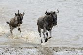image of wildebeest  - Wildebeest migration running through water to the bank - JPG