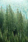 picture of ecosystem  - Healthy big green coniferous trees in forest of old spruce fir and pine trees in wilderness area of a national park - JPG
