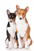 picture of puppies mother dog  - two basenji breed dogs on white background - JPG