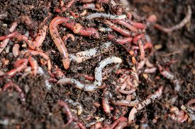 picture of humus  - Earth Worms  - JPG