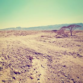picture of samaria  - Dry Tree in Sand Hills of Samaria Israel Retro Effect - JPG