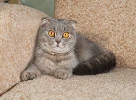 picture of scottish-fold  - Scottish fold gray cat lying on brown couch - JPG