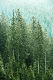 image of ecosystem  - Healthy big green coniferous trees in forest of old spruce fir and pine trees in wilderness area of a national park - JPG