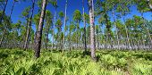 picture of saw-palmetto  - The beautiful pine flatwoods of Florida on a clear day - JPG