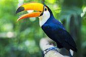 Exotic Toucan Bird In Natural Setting, Foz Do Iguacu, Brazil poster