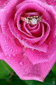 stock photo of pink rose  - romantic way to present a gold ring inside beautiful rose on valentine day - JPG