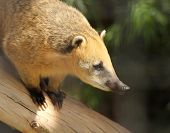 image of coatimundi  - A Coati Family Procyonidae with Golden Fur Perched on a Log